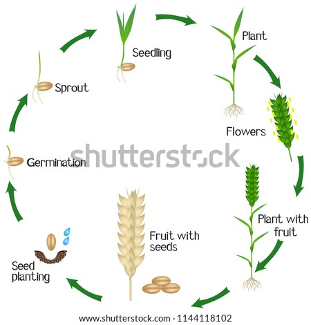 a growth cycle of a wheat plant