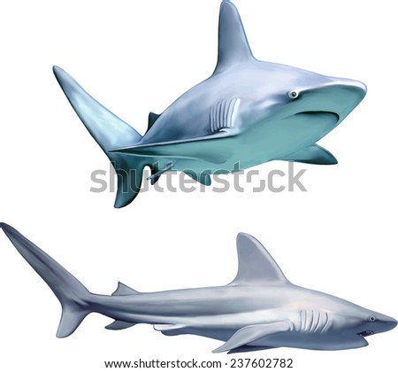 a large grey reef shark showing