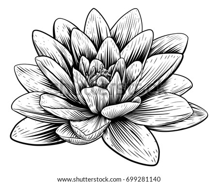 a lotus lily water flower in a
