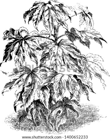 A picture is showing Fatsia Japonica, also known as paper plant. It belongs to family Araliaceae. Its leaves are long, large and leathery, vintage line drawing or engraving illustration.