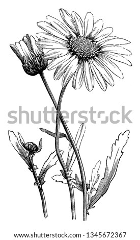 A picture is showing Oxeye Daisy, also known as Chrysanthemum leucanthemum. It belongs to Compositae family. Leaves have long-toothed margins. Petals are rectangular, vintage  Stock foto ©