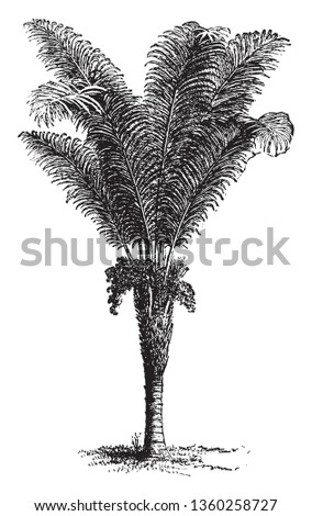 A picture of a Raphia palm which is a tropical palm native to Central and South America, as well to Africa, vintage line drawing or engraving illustration. Photo stock ©