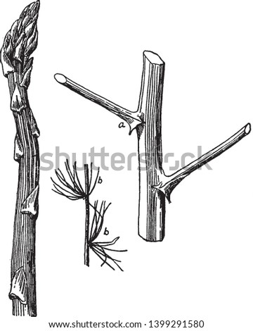A picture of Leaves and Branches of Asparagus where is branches arise and clusters of branchlets or leaves are shown, vintage line drawing or engraving illustration.