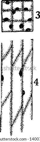 A picture showing the development stage of Bast fiber. 3 and 4, cross-sectional and longitudinal sections of primary meristematic cells that will become bast fibers, vintage line drawing or engraving