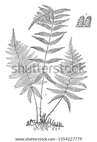 A picture shows the Dryopteris Simulata Plant. It produces both fertile and sterile leaflets. The leaflets are twice-compounded and divided mid-vein into between fifteen to eighteen lobes, vintage