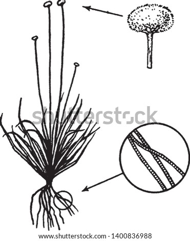 A picture, that's showing Eriocaulon, commonly known as Pipeworts. It belongs to Eriocaulaceae family. There are multiple filaments are present on which Anther is present, pollen grains are on Anther