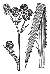 A picture, that's showing Eryngium. It belongs to Apiaceae family, native to South America. White flowers in dense button-type heads, vintage line drawing or engraving illustration.