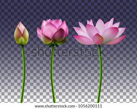 A set of lotus flowers on a transparent background, the stages of bud opening, a beautiful flower, an aquatic plant. 3D design. Vector illustration. EPS10
