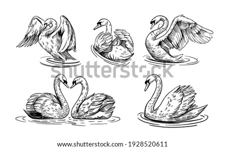 A sketch of a swan. Set of illustrations swans on water. Hand drawn converted to vector. black outline on transparent background