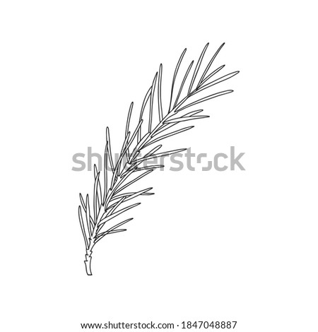 A sprig of rosemary with leaves on the stem. Botanical design element for decorating menus and recipes. Simple black and white vector illustration drawn by hand, isolated on a white background Stock photo ©