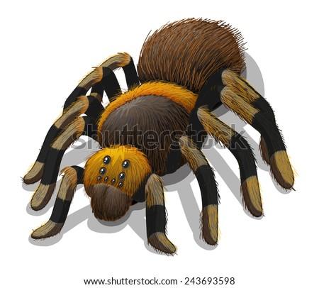 a tarantula spider on a white