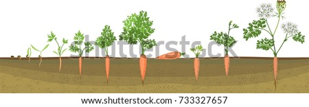 A two-year life cycle of carrot development from planting a seed to flowering plant. Carrot growth stage
