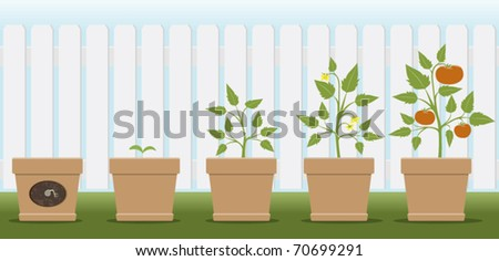 a vector illustration showing how a tomato plant grows - stock vector