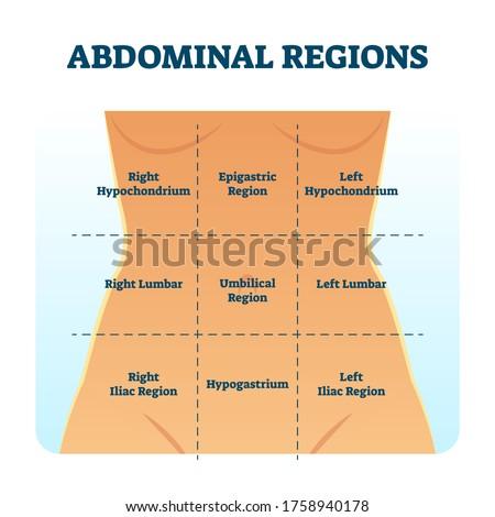 Abdominal quadrant regions scheme as stomach division vector illustration. Labeled examination graphic with hypochondrium, hypogastrium and hypochondriac as anatomical body organs position location. Stock photo ©