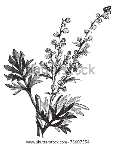 Absinthe plant, Artemisia absinthium or wormwood engraving illustration, isolated on white. Also called (absinthium, absinthe wormwood, wormwood, common wormwood, Green Ginger or grand wormwood. - stock vector