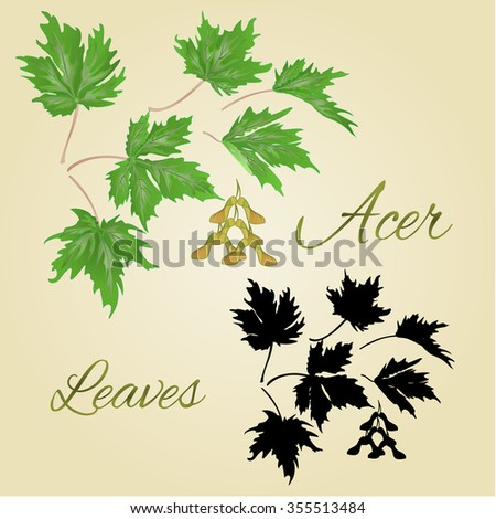 acer maple  green leaves summer