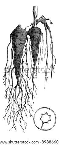 aconite whole root  vintage