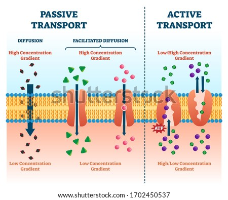 Active vs passive transport vector illustration. Labeled educational cell scheme comparison. Diffusion and facilitated various concentration gradients and ATP explanation. Molecular substance movement