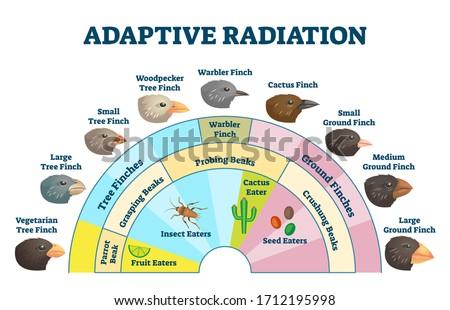 Adaptive radiation vector illustration. Labeled birds diet evolution diagram. Darwin