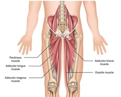 adductor muscles anatomy 3d medical vector illustration on white background