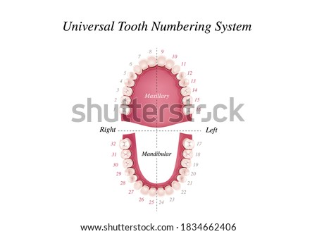 Adult international tooth numbering chart. Universal numbering system. Tooth Anatomy vector Dental Infographics. Realistic White Tooth Mockup. Medical banner or poster. Vector illustration.