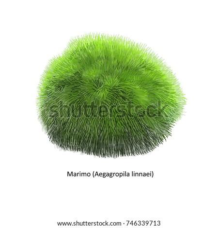 aegagropila linnaei  known as