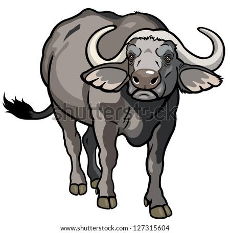 african cape buffalo wild