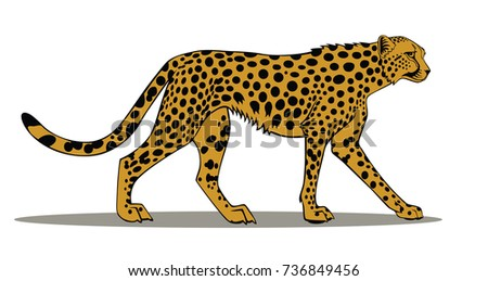 african cheetah (Acinonyx jubatus) isolated