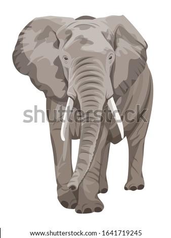 African Elephant walking. Big 5 member. Сток-фото ©