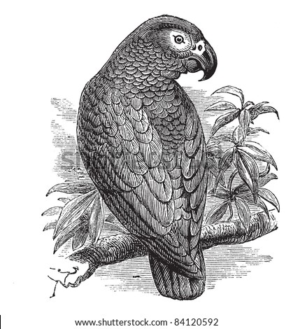african grey parrot or