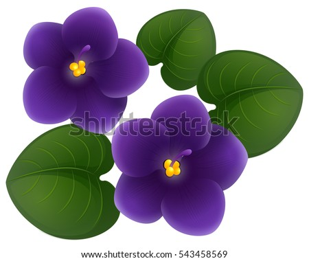 african violet flowers and