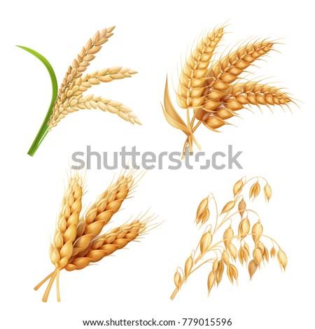 Agricultural crops set Rice, oats, wheat, barley vector realistic illustration