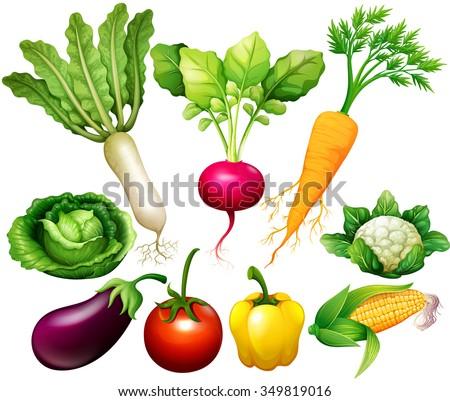 All kind of vegetables illustration