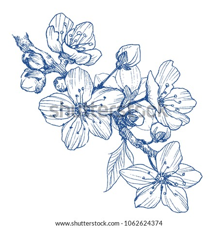 Almond blossom branch isolated on white. Vintage botanical hand drawn illustration. Spring flowers of apple or cherry tree. #1062624374