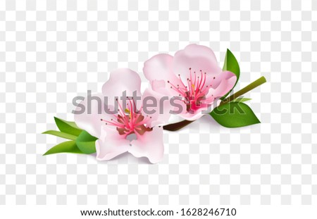 almond branch blossom isolated