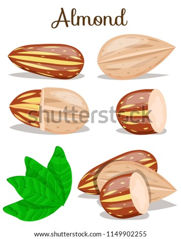 Almond nut whole,cut,half with leaves. Almond kernel in shell. Organic healthy snack,food. Almond nut seed. Flat cartoon vector illustration on white background. Set,poster for company, vegan milk.