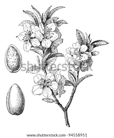 Almond (Prunus dulcis) / vintage illustration from Meyers Konversations-Lexikon 1897