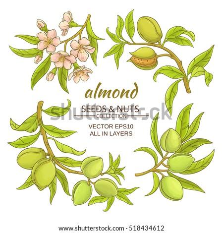 almond vector set