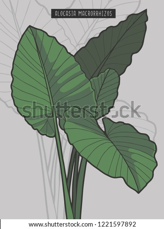 Alocasia Macrorrhizos Giant Taro rainforest tropical plant vector illustration