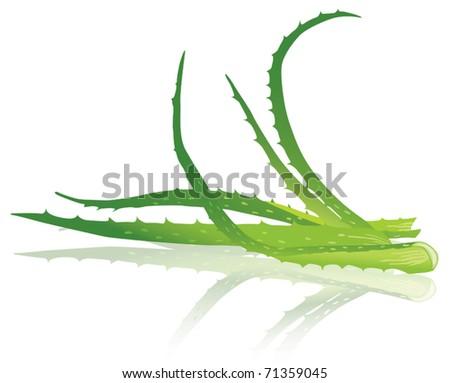 Aloe vera leaves. Vector illustration