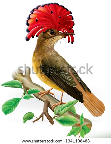 Amazonian royal flycatcher with red crest on a white background