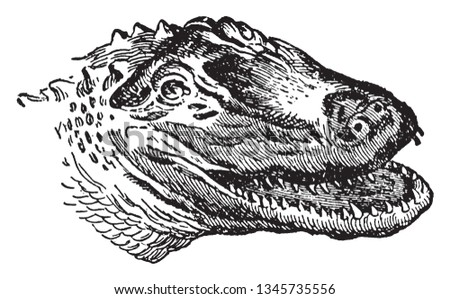 American Alligator is a large crocodilian reptile endemic to the southeastern United States, vintage line drawing or engraving illustration.
