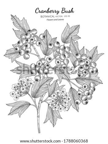 American cranberrybush fruit hand drawn botanical illustration with line art on white backgrounds.