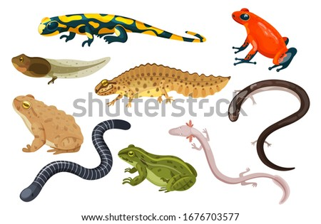 Amphibian vector illustration set. Exotic cartoon tropical amphibia, colorful sitting toad and frog life cycle tadpole, salamander, triton caecilian. Flat animals pets for zoo icons isolated on white ストックフォト ©