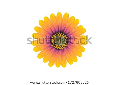 an african daisy in white