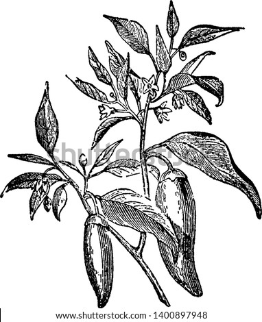 An annual shrub native to tropical areas, cultivated throughout most of the world for its chili peppers, or chilies. The species includes the sweet peppers and pungent, strong-flavored types, vintage
