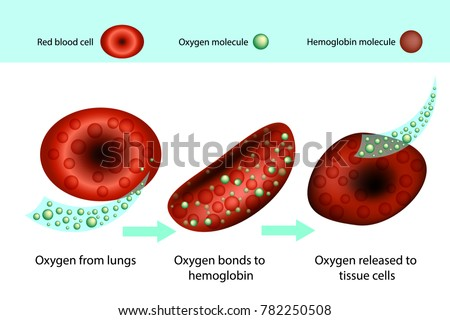 An illustration of hemoglobin carrying oxygen in red blood cells.