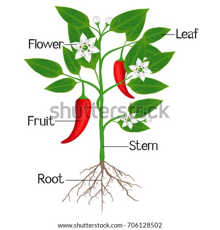 An illustration showing parts of a chili pepper plant.
