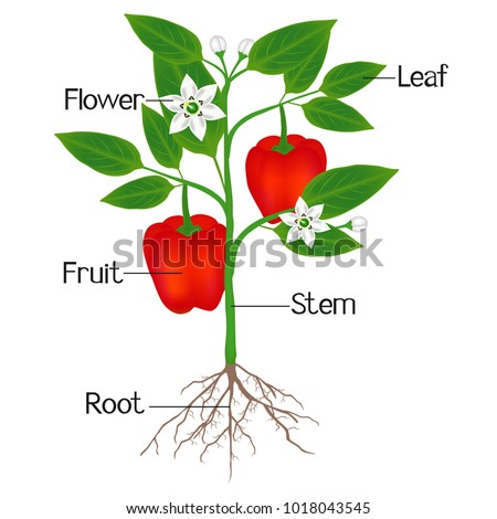 An illustration showing parts of a plant of red pepper.