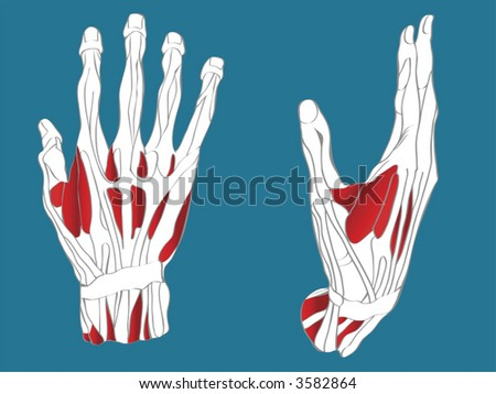 Anatomic drawings of hand muscular system